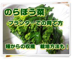 のらぼう菜のプランターでの育て方!種からの収穫&栽培方法も!